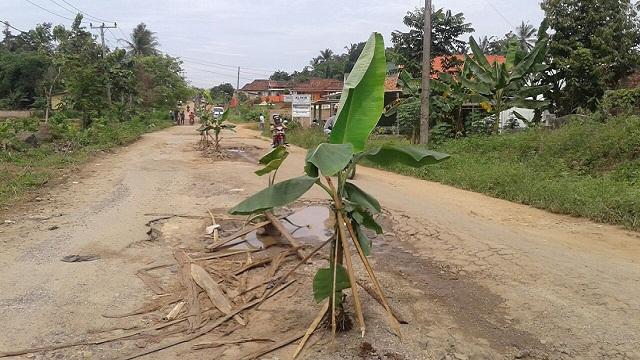Buruknya Kondisi Jalan Provinsi,Warga Tanami Bibit Pisang