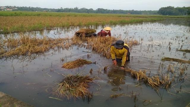 Pasca Banjir Petani lampung Timur Alami Puso